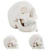 Anatomie model schedel met open onderkaak