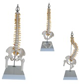 Anatomie model wervelkolom met ruggenmergzenuwen, flexibel, 42 cm