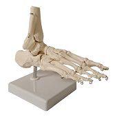 Anatomie model voet en enkel