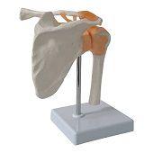 Anatomie model schoudergewricht