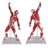 Anatomie model spieren, 50 cm