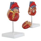 Anatomie model hart, 2-delig, genummerd