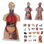 Anatomie model torso met organen, tweeslachtig, 40-delig, 85 cm