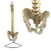 Anatomie model wervelkolom, flexibel, 83 cm