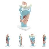 Anatomie model strottenhoofd, 3-delig, 11x24x8 cm