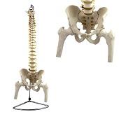 Anatomie model wervelkolom met femurkoppen, flexibel, 86 cm
