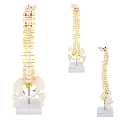 Anatomie model wervelkolom, 45 cm