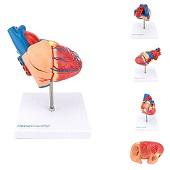 Anatomie model hart, 2-delig, 15x8x12 cm