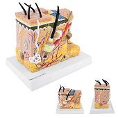 Anatomie model huid (20x15x23 cm)