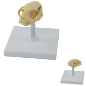 Anatomie model schedel kat, 12x11x12 cm