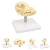 Anatomie model schedel hond, 12x10x12 cm