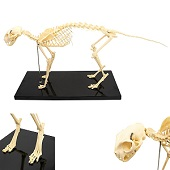 Anatomie model skelet kat Tommy, 70x27x9 cm