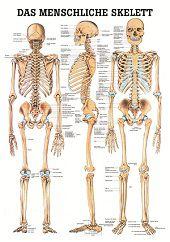 Skelet poster<br/>(Duits, gelamineerd, 24x34 cm)