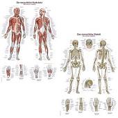 Spieren- en skeletposter<br/>(Duits/Engels/Latijn, kunststof-folie, 70x100 cm)