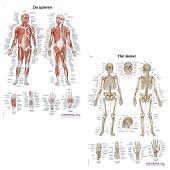 Anatomie posters spieren en skelet (Nederlands/Latijn, papier, 50x70 cm)