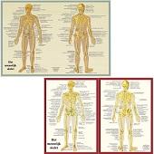 Anatomie poster skelet (Nederlands, gelamineerd, A2 + A4)