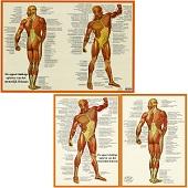 Anatomie poster spieren (Nederlands, gelamineerd, A2 + A4)
