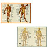 Anatomie poster spieren en skelet (Nederlands, gelamineerd, A2)