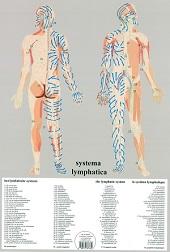 Anatomie poster lymfe (Nederlands, gelamineerd, A2)