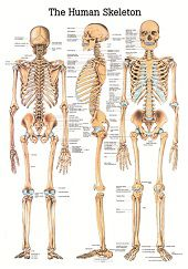 Skelet poster<br/>(Engels, gelamineerd, 24x34 cm)
