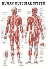 Spieren poster<br/>(Engels, gelamineerd, 24x34 cm)