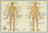 Anatomie poster skelet (Nederlands, gelamineerd, A2)