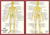 Anatomie poster skelet (Nederlands, gelamineerd, A4)