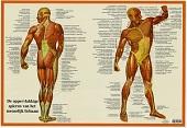 Spieren poster<br/>(Nederlands, gelamineerd, A2)