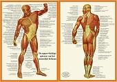 Anatomie poster spieren (Nederlands, gelamineerd, A4)