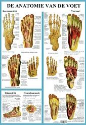 Anatomie poster voetskelet en voetspieren (Nederlands, gelamineerd, A2)