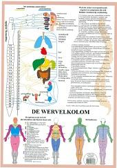 Anatomie poster vegetatief zenuwstelsel (Nederlands, gelamineerd, A2)