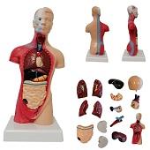 Anatomie model torso met organen, 15-delig, 28 cm