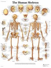 Anatomie poster skelet (Engels, gelamineerd, 50x67 cm) + ophangsysteem