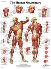 Anatomie poster spieren (Engels, gelamineerd, 50x67 cm) + ophangsysteem