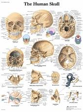 Anatomie poster schedel (gelamineerd, 50x67 cm)