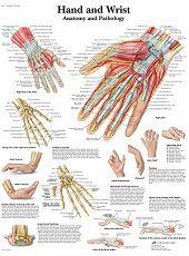 Anatomie poster hand en pols (gelamineerd, 50x67 cm) + ophangsysteem