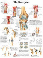 Anatomie poster kniegewricht (gelamineerd, 50x67 cm) + ophangsysteem