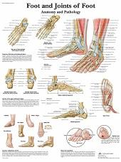 Anatomie poster voet (gelamineerd, 50x67 cm)