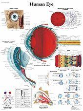 Anatomie poster oog (gelamineerd, 50x67 cm)