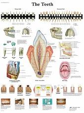 Anatomie poster gebit en tanden (gelamineerd, 50x67 cm)
