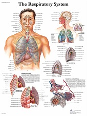 Anatomie poster ademhaling (gelamineerd, 50x67 cm) + ophangsysteem
