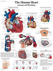 Anatomie poster hart (gelamineerd, 50x67 cm)