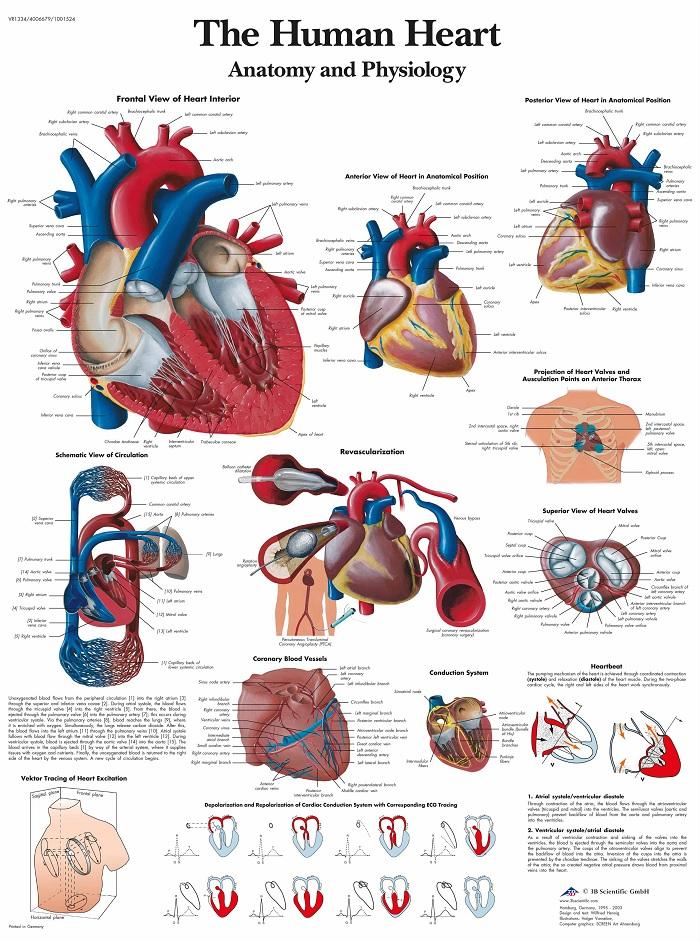 Verbazingwekkend Anatomie poster hart (gelamineerd, 50x67 cm) WF-89