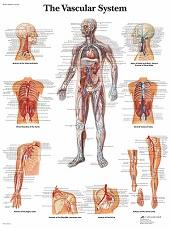 Anatomie poster bloedsomloop (gelamineerd, 50x67 cm)