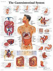 Anatomie poster spijsvertering (gelamineerd, 50x67 cm)