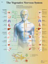 Anatomie poster vegetatief zenuwstelsel (gelamineerd, 50x67 cm)