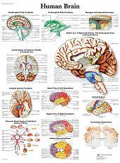 Anatomie poster hersenen (gelamineerd, 50x67 cm)