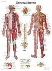 Anatomie poster zenuwstelsel (gelamineerd, 50x67 cm)