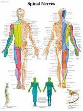 Anatomie poster ruggenmergzenuwen (gelamineerd, 50x67 cm)