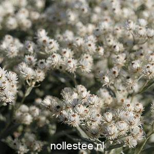 Siberische Edelweiss